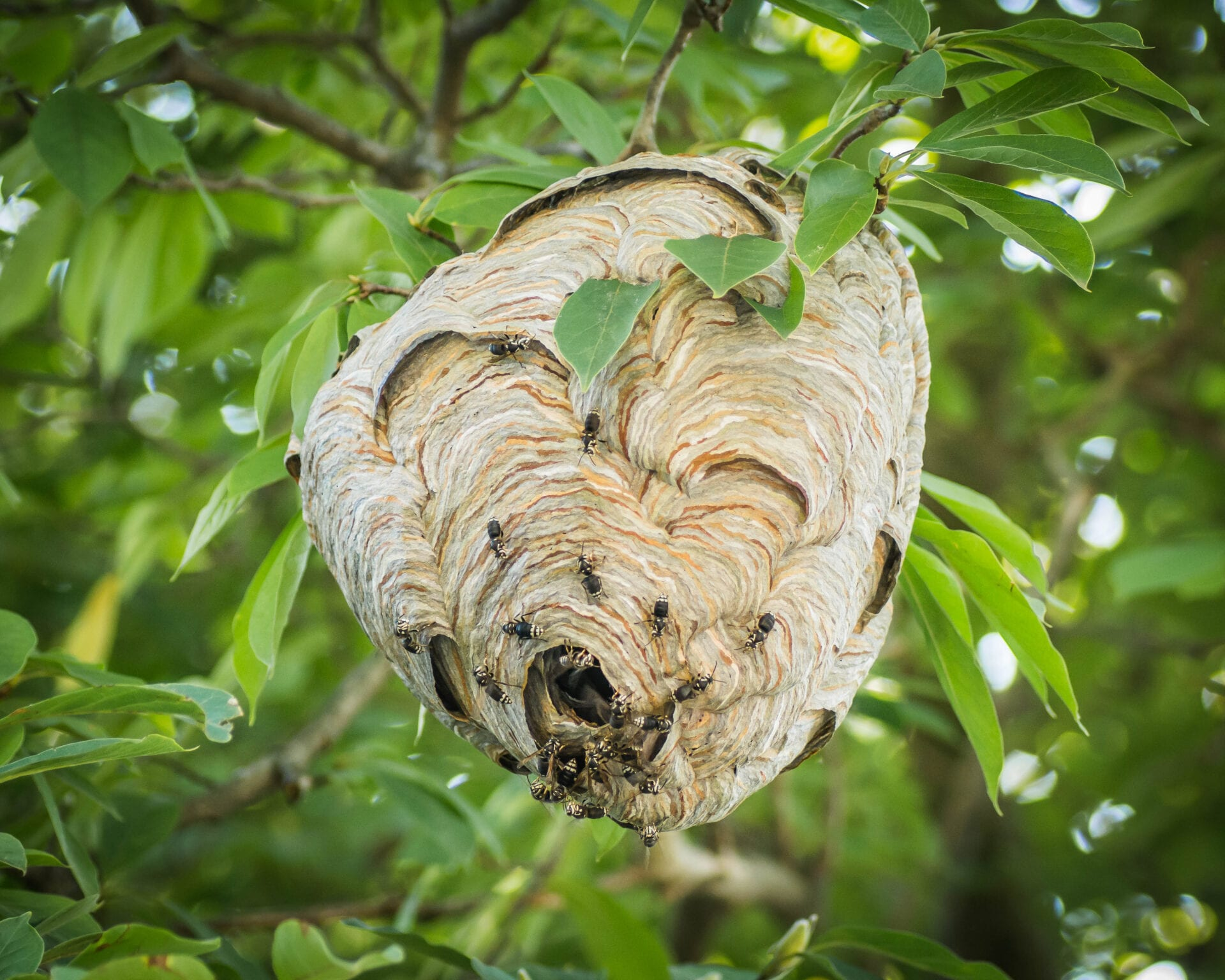 A hornet nest that needs to be treated by a pest control company in Woodstock, NY