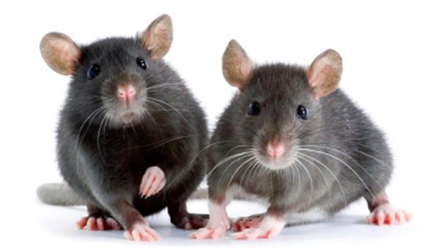 mice-000004383983